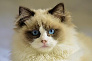 cat cream and brown fur