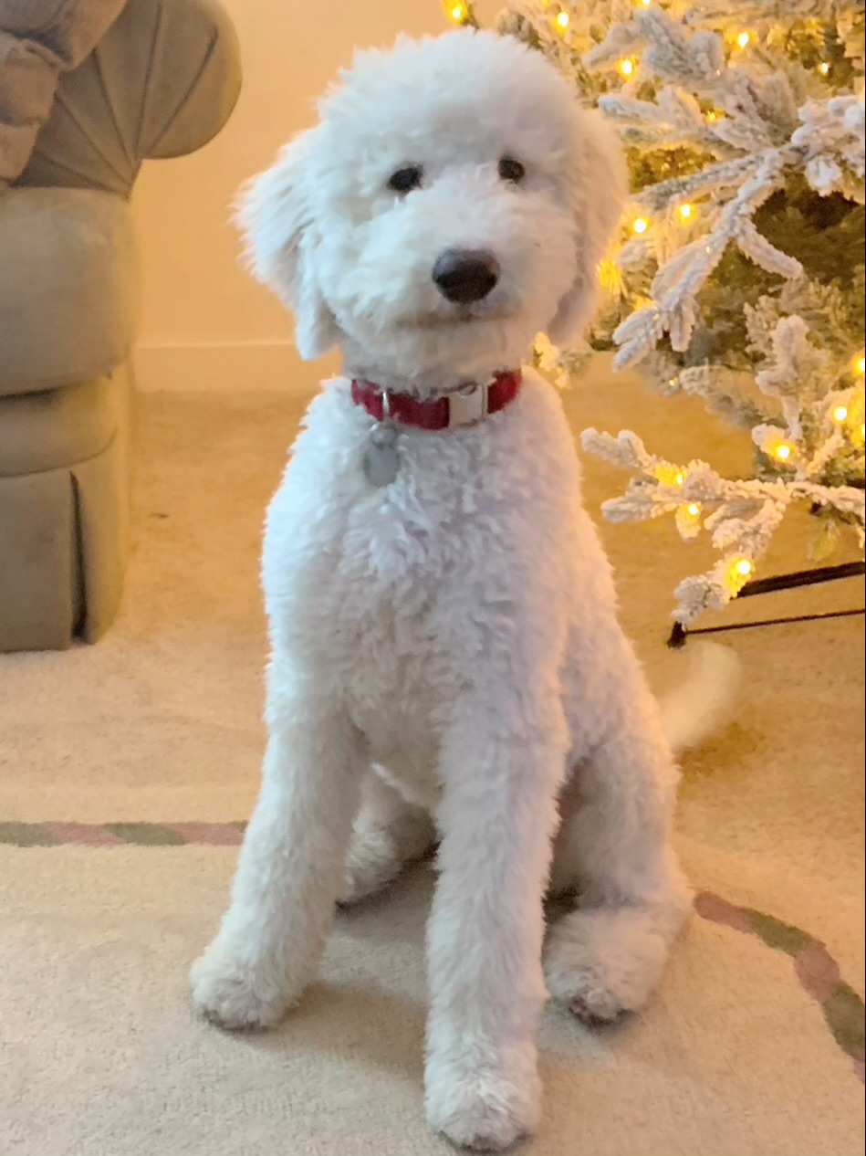 goldendoodle puppies near me