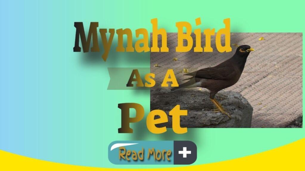 mynah bird as a pet thumbnail image