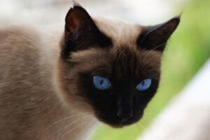siamese cats face with blue eyes